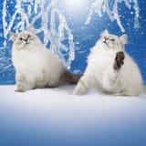 两只西伯利亚小猫在多雪的森林里 库存图片