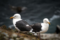 两只西部鸥,在监视的海鸥 库存照片