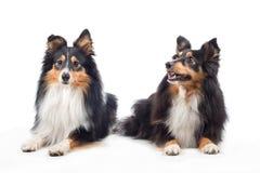 两只设德蓝群岛牧羊犬放置 免版税库存照片