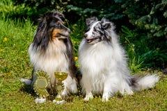 两只设德蓝群岛牧羊犬 库存图片