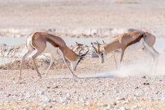 两只跳羚公羊战斗 免版税图库摄影
