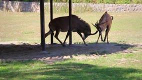两只软羊皮的羚羊在注视,中间射击互相攻击,被稳定附近 股票视频