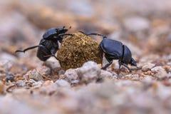 两只辛苦工作的强的甲虫 库存图片