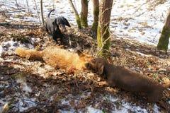 两只达克斯猎犬在狩猎的叮咬狐狸 免版税库存图片