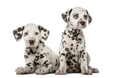两只达尔马希亚小狗 免版税库存图片