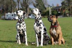 两只达尔马提亚狗和斯塔福德郡杂种犬 库存照片