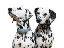 两只达尔马提亚狗坐,被隔绝反对白色背景 库存照片