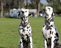 两只达尔马提亚狗坐 库存图片