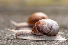 两只连续蜗牛1 库存图片
