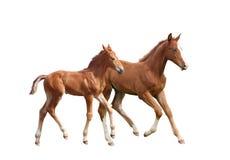 两只逗人喜爱兄弟姐妹马驹跑 库存图片