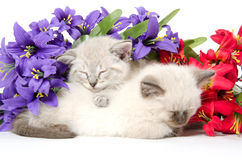两只逗人喜爱小猫睡觉 免版税库存照片