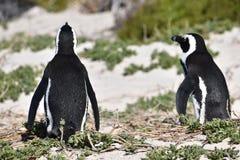 两只逗人喜爱的公驴企鹅特写镜头在冰砾的在开普敦靠岸在南非 免版税库存图片