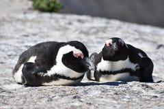 两只逗人喜爱的公驴企鹅特写镜头在冰砾的在开普敦靠岸在南非 库存图片