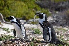 两只逗人喜爱的公驴企鹅特写镜头在冰砾的在开普敦靠岸在南非 库存照片