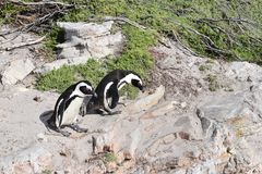 两只逗人喜爱的公驴企鹅特写镜头在海滩的在开普敦附近的BettyÂ的海湾在南非 库存图片