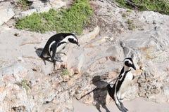 两只逗人喜爱的公驴企鹅特写镜头在海滩的在开普敦附近的BettyÂ的海湾在南非 免版税库存照片