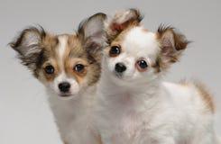 两只逗人喜爱的奇瓦瓦狗小狗 库存图片