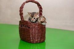 两只逗人喜爱的孟加拉小猫在一个柳条筐坐 一个月大 图库摄影