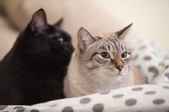 两只逗人喜爱的家养的短发猫互相偎依 免版税图库摄影