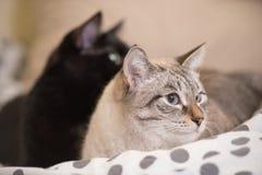 两只逗人喜爱的家养的短发猫互相偎依 免版税库存图片