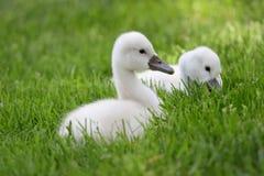 两只逗人喜爱的小天鹅 库存图片
