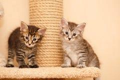 两只逗人喜爱的小的小猫 图库摄影