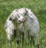 两只逗人喜爱的幼小山羊 免版税库存图片