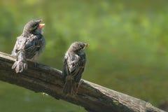 两只逗人喜爱的幼鸟,麻雀雏鸟传球手domesticus 库存照片