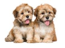 两只逗人喜爱的开会havanese小狗 免版税库存照片