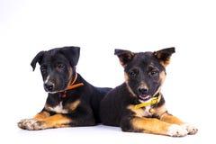 两只逗人喜爱的德国牧羊犬小狗 库存图片