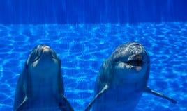 两只逗人喜爱的愉快的海豚 免版税库存照片