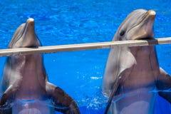 两只逗人喜爱的愉快的海豚 库存照片