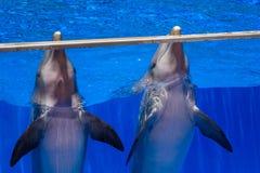 两只逗人喜爱的愉快的海豚 免版税库存图片