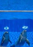 两只逗人喜爱的愉快的海豚 库存图片