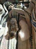 两只逗人喜爱的新出生的小猫 免版税库存图片