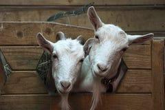 两只逗人喜爱的滑稽的山羊 库存照片