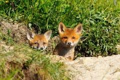 两只逗人喜爱的狐狸 免版税库存图片