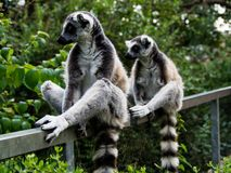 两只逗人喜爱的狐猴对称地坐篱芭 免版税库存照片