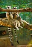 两只逗人喜爱的环纹尾的狐猴坐树 库存照片