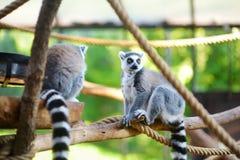 两只逗人喜爱的环纹尾的狐猴坐一个分支在动物园里 免版税库存照片