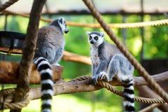 两只逗人喜爱的环纹尾的狐猴坐分支 库存照片