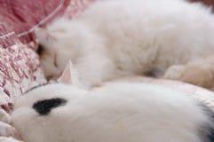 两只逗人喜爱的白色猫 免版税库存图片