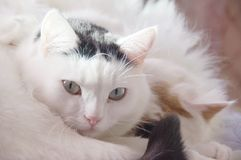 两只逗人喜爱的白色猫 库存照片