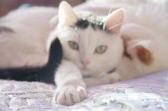 两只逗人喜爱的白色猫 免版税库存照片