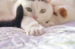 两只逗人喜爱的白色猫 免版税图库摄影