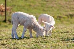 两只逗人喜爱的白色羊羔 库存照片