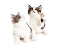 两只逗人喜爱的矮小的嬉戏的小猫 库存照片