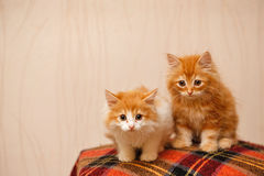 两只逗人喜爱的红色小猫坐格子花呢披肩 免版税库存图片