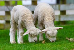 两只逗人喜爱的羊羔 库存照片