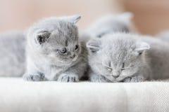两只逗人喜爱的英国shorthair猫 免版税库存图片